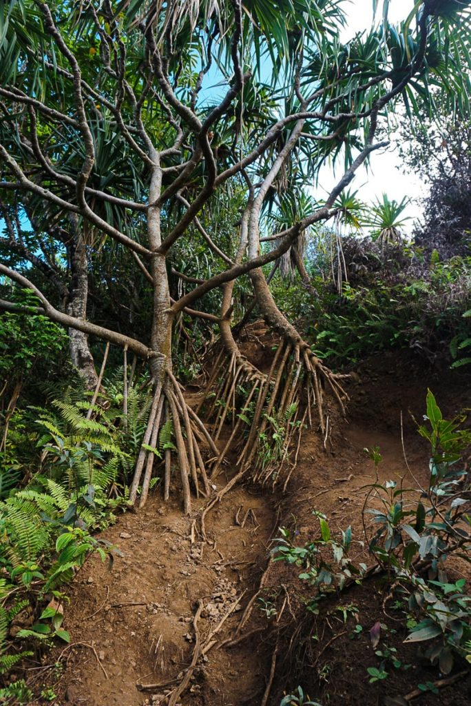 Trees on Crouching Lion trail with exposed roots
