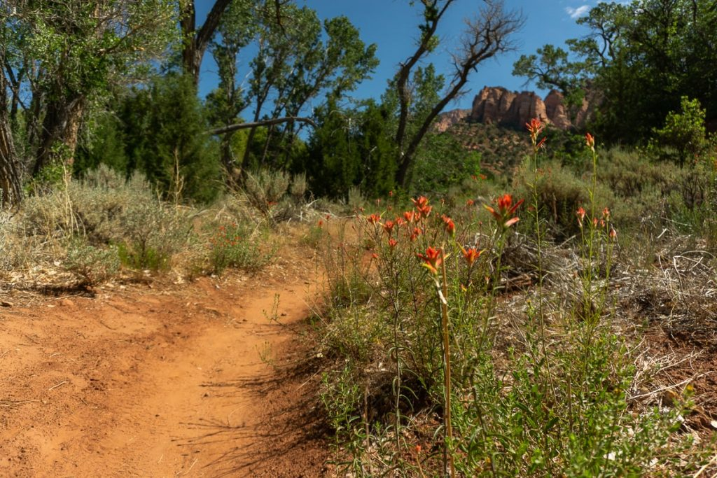 Red wildflowers next to a dirt trail